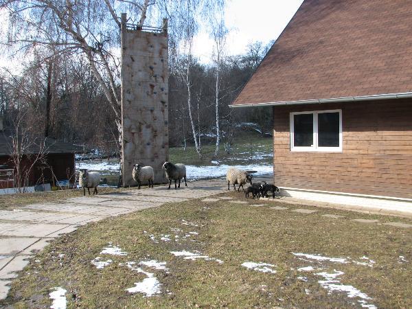 Ovečky u klubovny